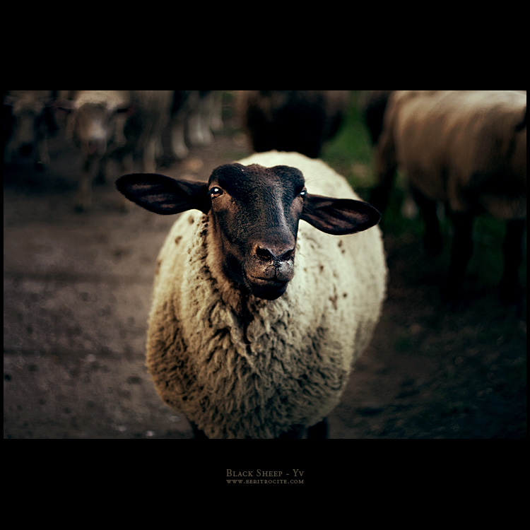 Black Sheep by yv