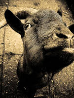-goat- by calcross