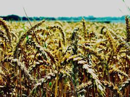 -sea of grain- by calcross