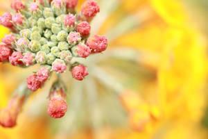 The yellow wagon wheel bloom