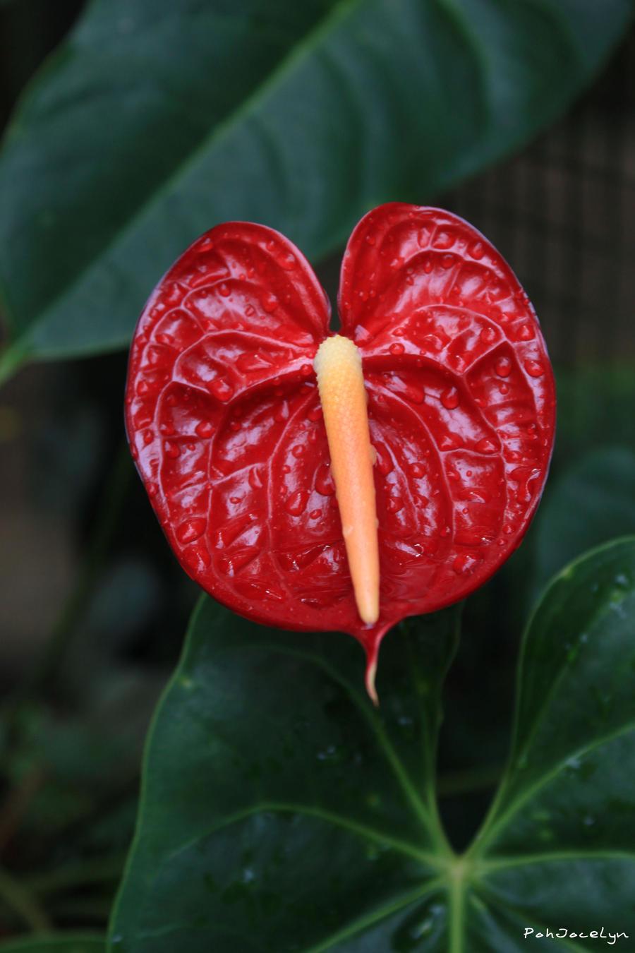 Red anthurium andreanum by pohjocelyn on deviantart - Anthurium turenza ...