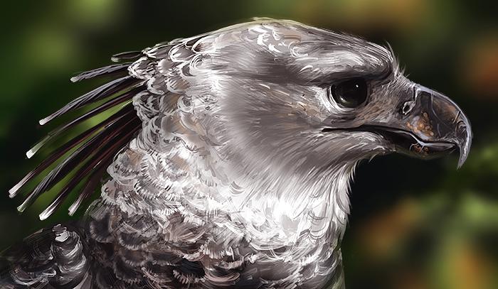 harpy eagle head feathers | fenix concepts | Pinterest