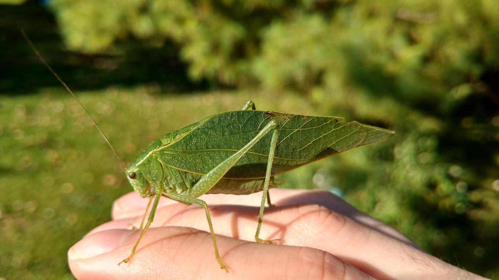 Leaf Katydid by MagentaMachina
