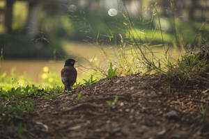 Common myna by LaYue
