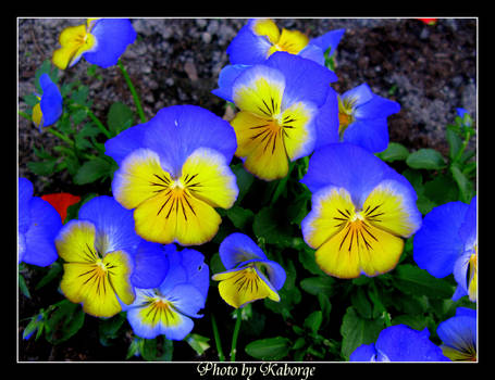 The blue Flowers