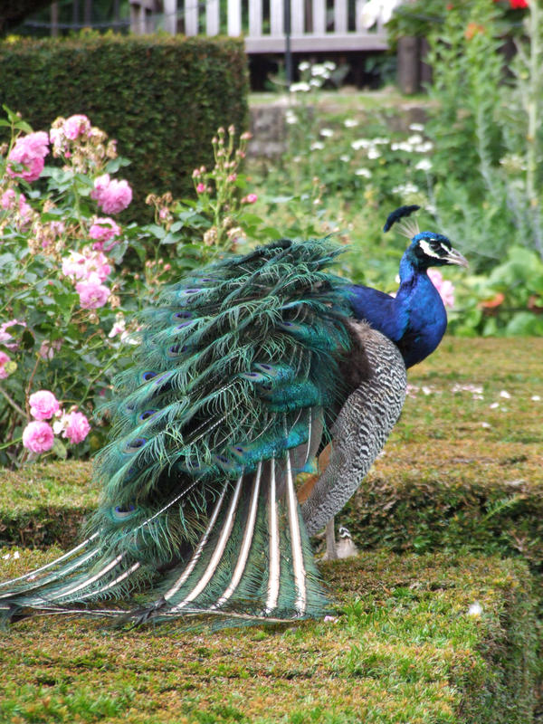 Warwick 39 s peacock garden by caoimhe aisling on deviantart for Gardening 4 you warwick