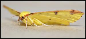 yellow moth by Rippah2