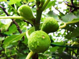 Green fruits by akonit