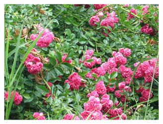 pinkerton by smashmethod