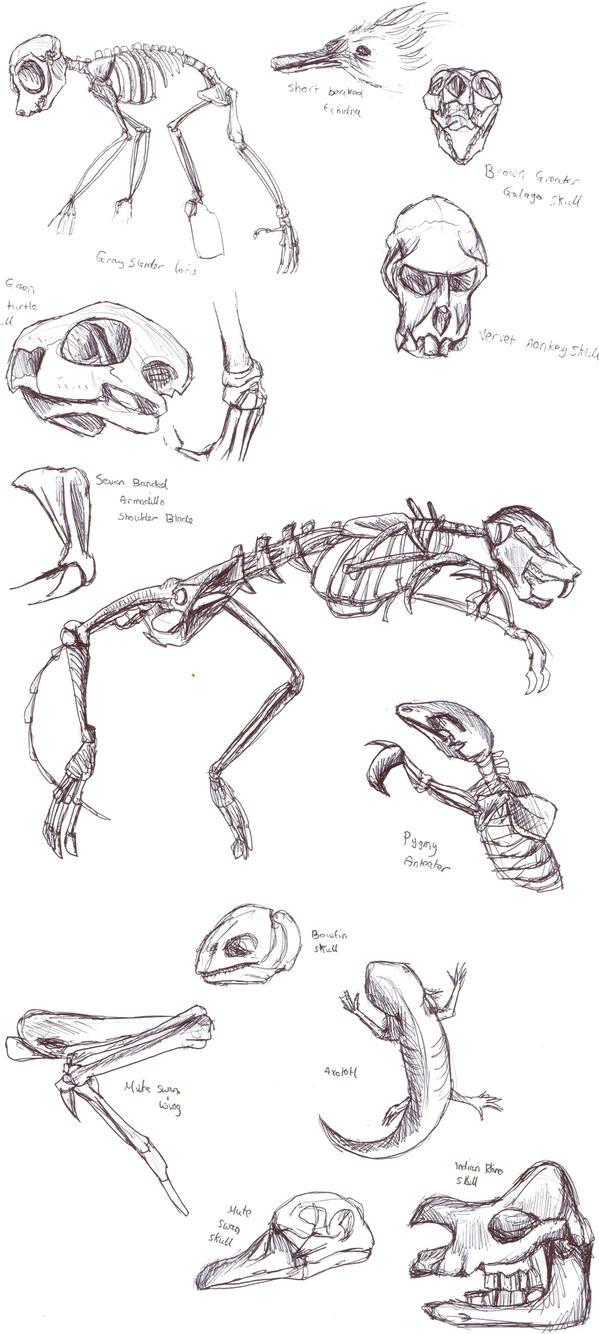 Animal skeleton studies by Gashu-Monsata