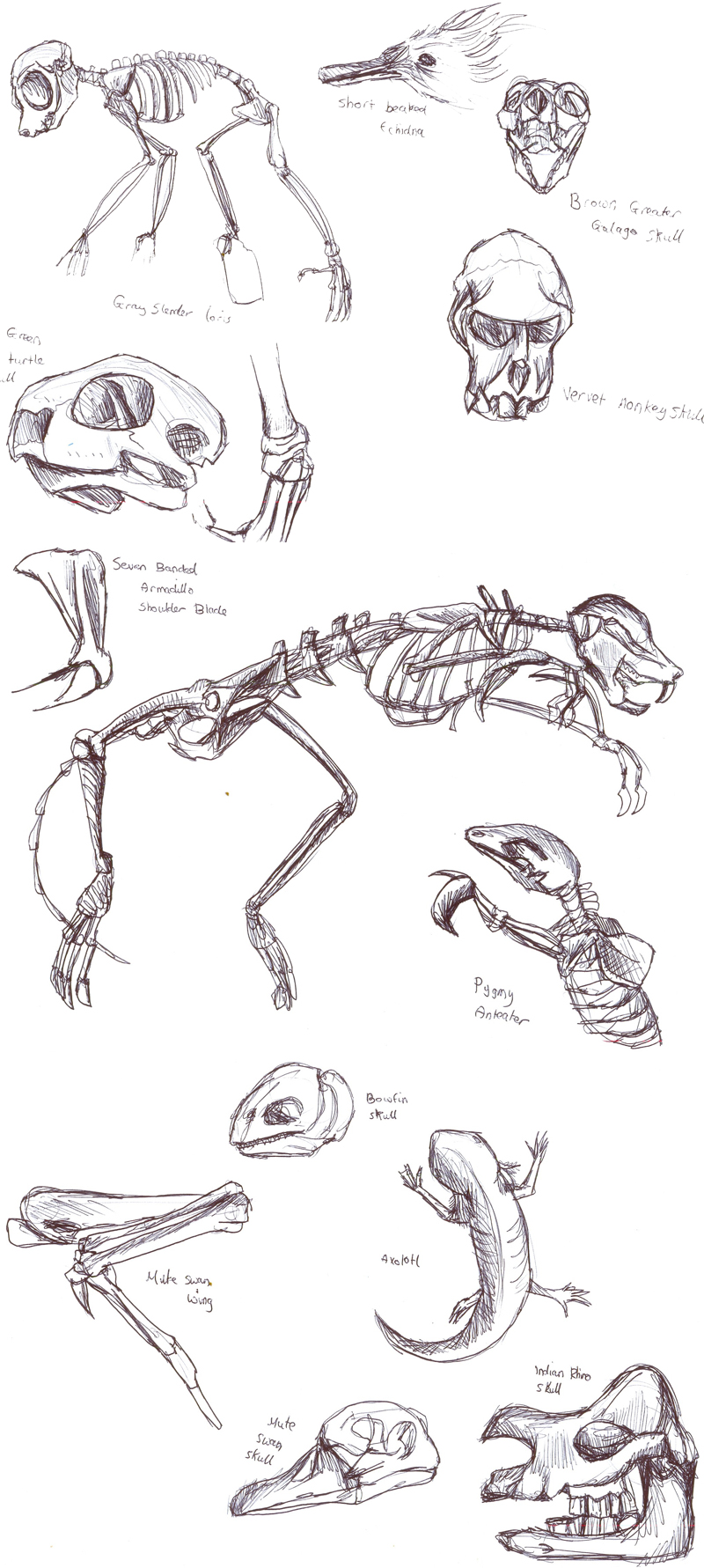 Animal skeleton studies by Gashu-Monsata