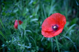Poppy by SP4RTI4TE