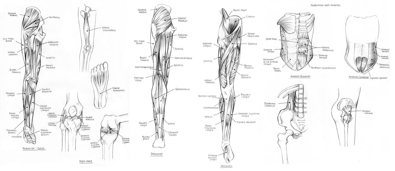 lower body muscles and tendons by cartoongirl7 on deviantart