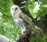 Barn Owl Stock