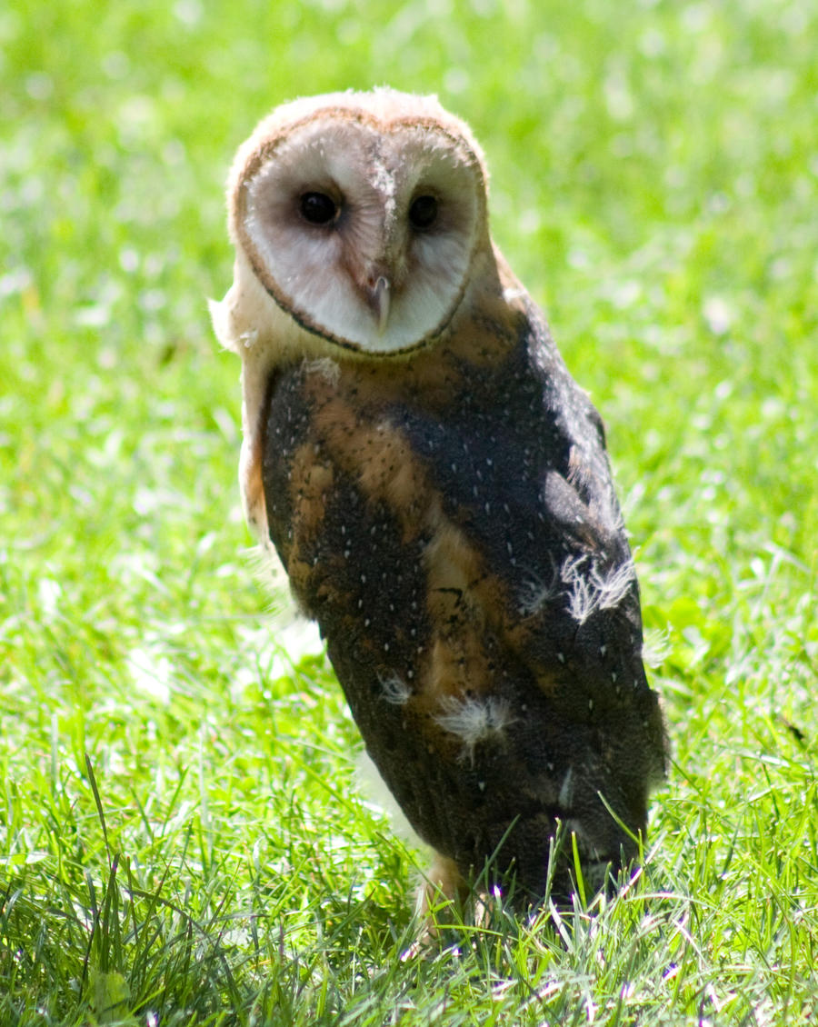 Baby barn owl images - photo#26