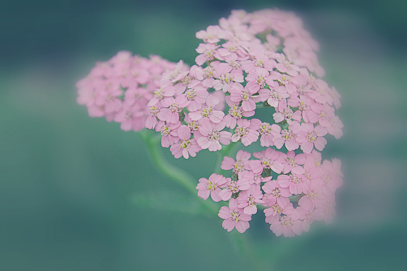 Little pink flowers by hv1234 on deviantart little pink flowers by hv1234 mightylinksfo