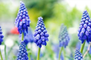 blueperls of april by hv1234