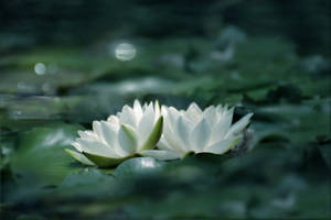 water lillies by hv1234