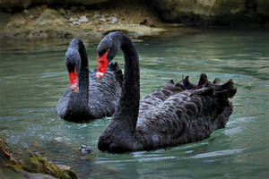 black swans by hv1234