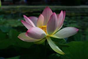 lotus by hv1234