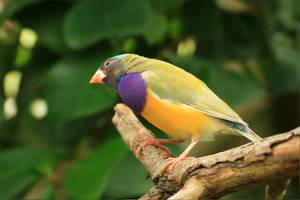 Gouldian finch by hv1234
