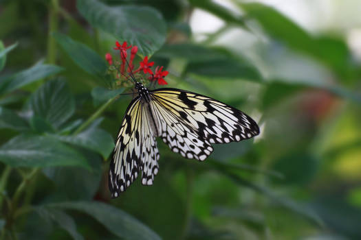 Weisse Baumnymphe - the paper kite butterfly.