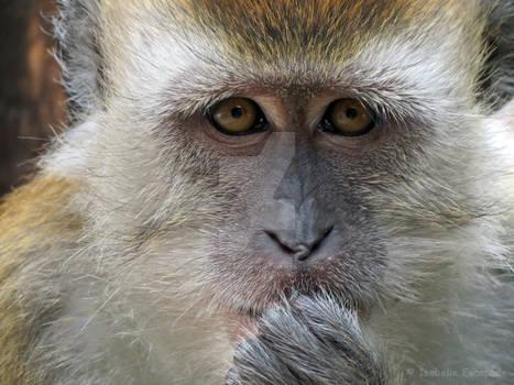 In the eyes of a monkey-Dans le regard d'un singe