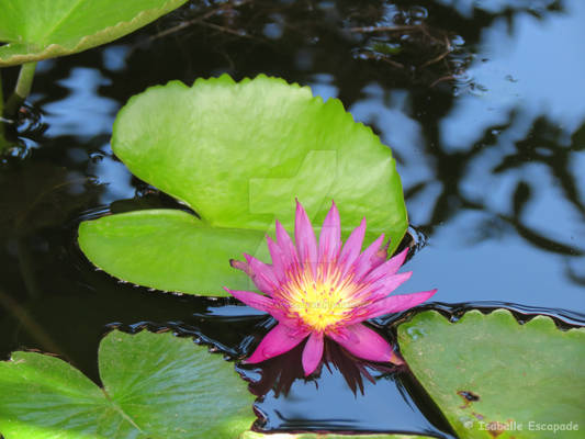Lily on the pond...