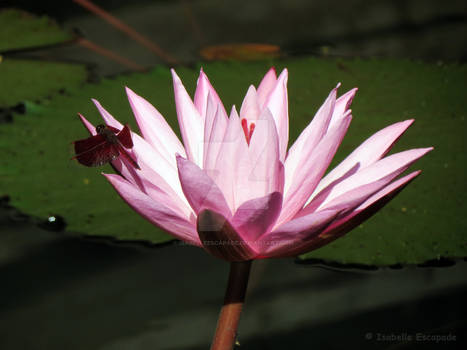 A dragonfly on a lily