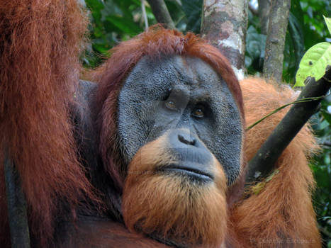 Old man of the forest of Sumatra