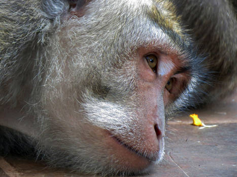 Reverie de singe...