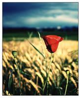 Poppy flower by lookazyx