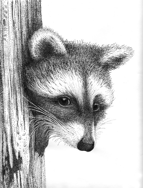 Racoon by Rens-Ink