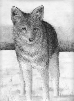 Coyote Drawing