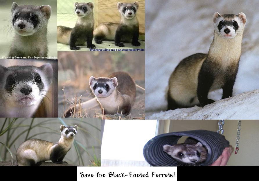 Save A Black Footed Ferret 74