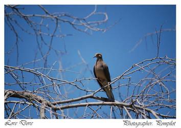 Love Dove by pompilot