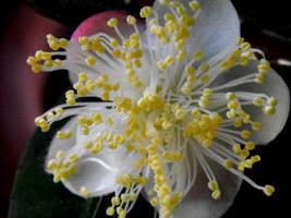 Myrtle Ecstasy by floramelitensis