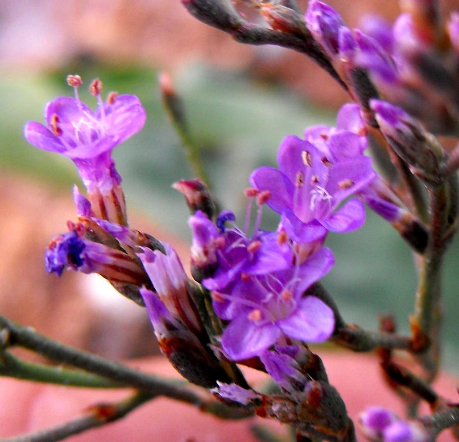 Limonium serotinum flowers