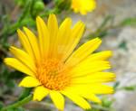 Sicilian Marigold