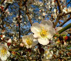 Almond in bloom by floramelitensis