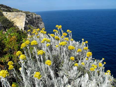 Helichrysum melitense