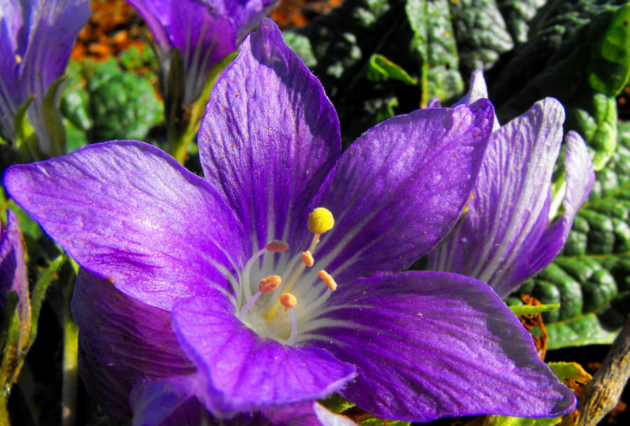mandrake flower Gallery