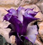 Double Purple Datura
