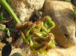 Scorpion Vetch legume pod/fruit by floramelitensis