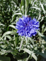 Double-flowered Cornflower