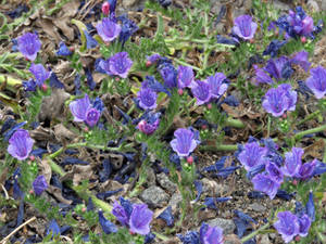 Violet flowering Purple Viper Bugloss