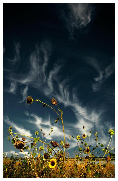 Junky Roadside Sunflowers by Konijntje