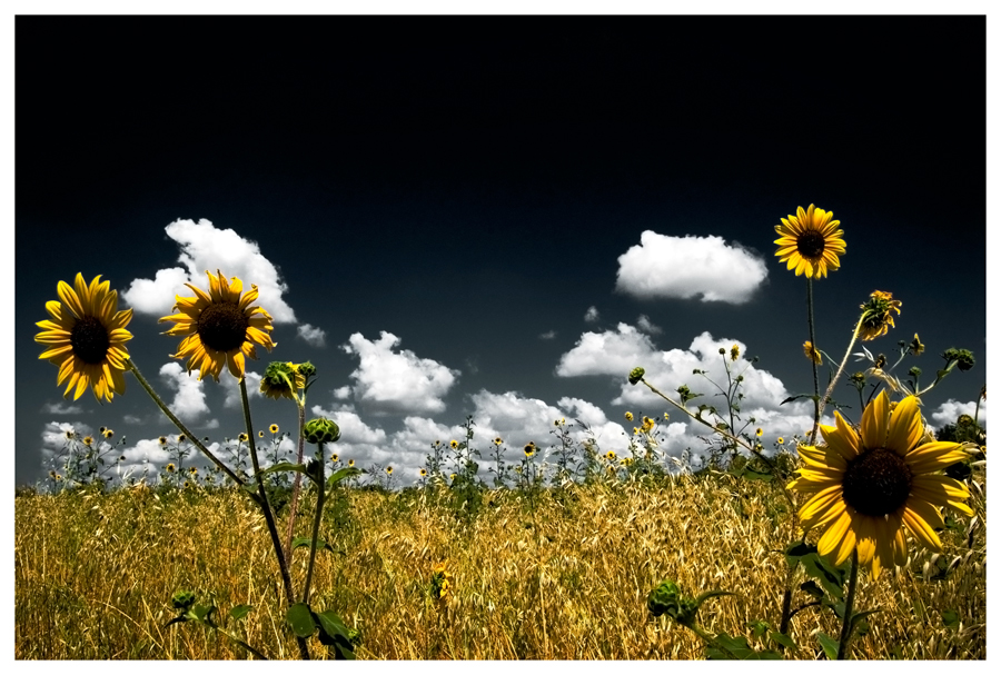 Sunflower Field by Konijntje