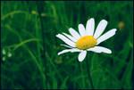white flower by ninikushka