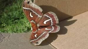 Mosura in real life Mothra